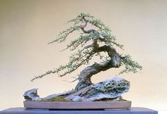 Root over rock bonsai-Sekijoju