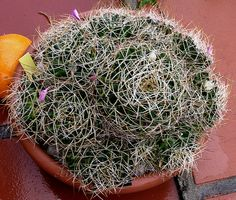 Mammillaria decipiens ssp campotricha