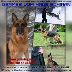 #gsd #germanshepherd #germesfomhausschiran