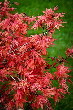 Buy Kasagiyama Japanese Maple Online. Arrive Alive Guarantee. Free Shipping On All Orders Over $99. Immediate Delivery.