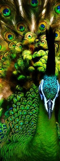Gorgeous Peacock  ♥ ♥