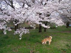 #Japan #sakura