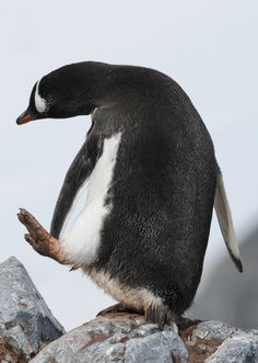 Gentoo Penguin (by Jean-François Hic) Penguin World, Penguin Art, Penguin Love, All About Penguins, Penguins And Polar Bears, Cute Penguins, Animals And Pets, Baby Animals, Cute Animals