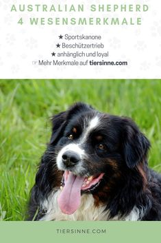 Some of the things I admire about the Smart Aussie Pup Australian Shepherd Rescue, Aussie Shepherd, Airedale Terrier, Blue Merle, New Mexican, Herding Dogs, Dog Activities, Alaskan Malamute, Dog Barking