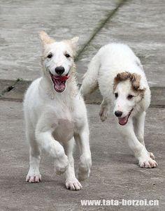 Borzoi puppies are so cute