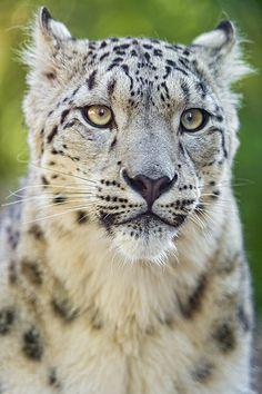 Portrait of a cute snow leopard                                                                                                                                                      Plus