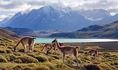 Guanacos grazing in Torres del Paine National Park, Chile. - Guide to Patagonia via the Guardian Oh The Places You'll Go, Places To Visit, Argentina Culture, Chili, Visit Chile, Visit Argentina, Torres Del Paine National Park, Travel Photos, Naturaleza