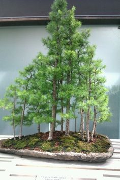 Bonsai - looks like hypertufa pot Bonsai Tree Price, Buy Bonsai Tree, Japanese Bonsai Tree, Bonsai Trees For Sale, Bonsai Tree Care, Bonsai Tree Types, Indoor Bonsai Tree, Bonsai Forest, Bonsai Garden