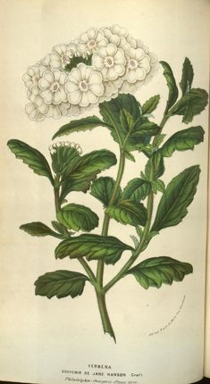 v.9 (1853-54) - Flore des serres et des jardins de l'Europe - Biodiversity Heritage Library