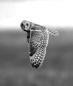 What a beautiful photo of an owl. The picture is incredible and with the owl glancing towards the camera creates an even more powerful effect. Beautiful Owl, Animals Beautiful, Cute Animals, Weimaraner, Cocker Spaniel, Owl Photos, Jolie Photo, Birds Of Prey, Pics Art