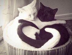 sweet cats-white and black cat love, gatti a forma di cuore