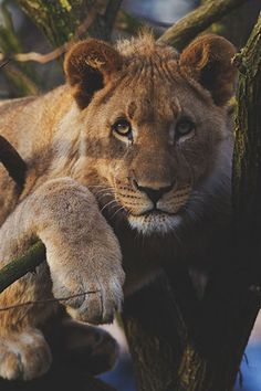 thème Roaring Lion Tattoo sur Pinterest | Tatouage Lion Tribal Lion ...