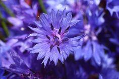 Kornblume - Heilpflanze