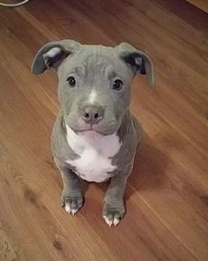 This Pitbull puppy has the sweetest little face, so in love!
