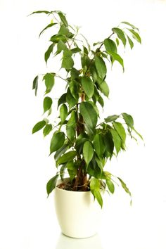 The Weeping Fig is a tree that survives really well indoors. It's tall, majestic and can really add some drama to your interior. It is also a great natural air purifyer, removing ammonia, formaldehyde and xylene from your indoor environment.