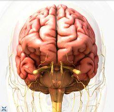 Interactive Human Brain in 3D http://www.healthline.com/human-body-maps/brain
