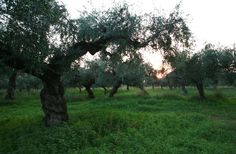 Our Olive trees after a not easy spring and summer season gave already a rich & tastefull EVOO production ( approx.1800kg at 0,24 acidity ). Now the whole Olive grove is peacefully resting and we hope to avoid any hard freeze. NOTIO wishes to all People and fans a healthy, bright and prosperous 2014 ! Cheers !