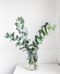 Eucalyptus for - Balkon, Garten & Co. Feuille Eucalyptus, Eucalyptus Leaves, Bouquet D'eucalyptus, Tent Photography, Big Indoor Plants, British Colonial Style, Blooming Trees, European Home Decor, Engagement Ring Cuts