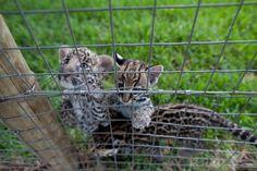 Baby wild cats.