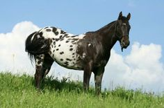 Pony of the Americas | Pony-of-the-Americas