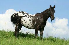 pony of the americas   Pony-of-the-Americas