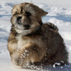 Lhasa Apso.  The cutest puppy ever!