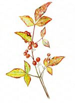 Member Gallery   American Society of Botanical Artists