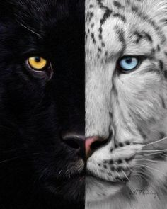 Panther and snow lepard