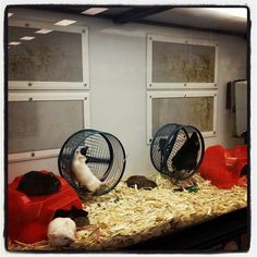 Mice and rats enjoy having toys and furniture in their habitats. Does your pet love its wheel?