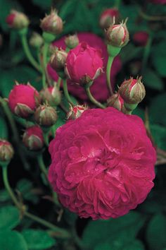 """Garden designer Arne Maynard's favourite rose is 'Cardinal de Richelieu', an almost thornless rose bearing flowers of a dusky dark purple, with petals the texture of velvet.  [i]Rosa [link url=""""http://www.davidaustinroses.co.uk/cardinal-de-richelieu""""]'Cardinal de Richelieu'[/link], £15.50 as a bare root rose, from [link url=""""http://www.davidaustinroses.co.uk/""""]David Austin Roses[/link].[/i]  Like this? Then you'll love  [link…"""