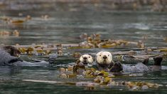 These sea otters in Alaska are floating amid kelp—an important flora friend to the endangered marine mammals. Sea otters live mostly in. Glacier Bay National Park, National Parks, Sea Otter Facts, Marine Otter, Otter Pup, Keystone Species, Animal Classification, Kelp Forest, Amur Leopard