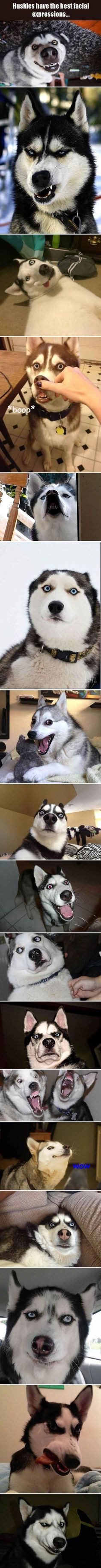 The 2nd picture looks like a Siberian Husky Elvis. lol #dogsfunnyjokes