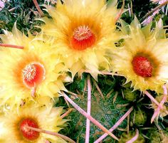 A colorful mix of flowers, spines, and detail of the cactus. Shot taken at the Arizona-Sonora Desert Museum, west of Tucson Arizona. Cactus Blossoms, Cactus Flower, My Flower, Desert Flowers, Desert Plants, Rare Flowers, Beautiful Flowers, Succulent Arrangements, Succulents