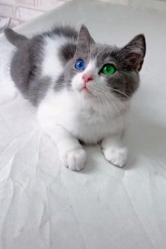 Daily Cute & Funny Videos,Gifs,Pictures of Cute & Funny Dogs,Cats and Other Animals. Pretty Cats, Beautiful Cats, Animals Beautiful, Cute Baby Animals, Animals And Pets, Funny Animals, Cute Kittens, Cats And Kittens, Gato Gif