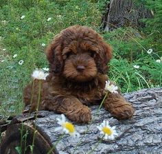 Dark Brown Poodle Puppy