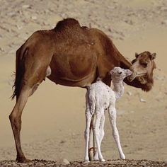 Camels, like this mother with her 2-day-old baby, are well adapted for life in the desert. They feed on desert vegetation and can go without water for up to three weeks.    [most of previous pinner's caption]