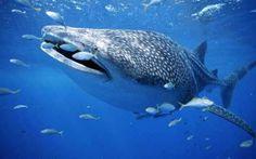 Quali sono le dimensioni dello squalo più grande del mondo Molte persone ritengono che l'esemplare catturato nelle Filippine (lungo circa 10 metri e pesante 7 tonnellate) sia lo squalo più grande del mondo, ma non è così. Lo squalo bianco, infatti, può raggi #squali #pesci #squalobalena