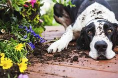 Designing the Perfect Garden for Your Dog Dogs are curious creatures, requiring plenty of stimulation to stop them becoming bored and unhappy. Dog Friendly Garden, What Kind Of Dog, Popular Flowers, Curious Creatures, Kinds Of Dogs, Pet Sitting, Homemade Dog, Stock Foto, Dog Behavior
