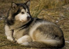 Alaskan Malamute - Official Dogs of Alaska