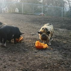 """Bruno's Barn Sanctuary on Instagram: """"Thank you to everyone who donated pumpkins for the piggies (and chickens)! We had a pumpkin party today! I find Grant's chewing oddly…"""" Cute Animal Videos, A Pumpkin, Cute Animals, Barn, Dogs, Instagram, Pretty Animals, Converted Barn, Cutest Animals"""