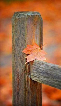 8 Great Clever Ideas: Fence Sport Accessories old picket fence.Privacy Fence Trellis privacy fence on hill.How To Build A Garden Fence. Autumn Day, Autumn Leaves, Late Autumn, Maple Leaves, Winter, Seasons Of The Year, Autumn Inspiration, Happy Fall, Fall Season