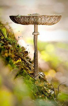 Parasol mushroom / Ôzlábgomba by csabatokolyi, via Flickr.  Beautiful photo!