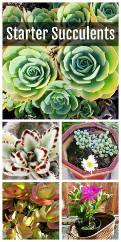 Succulents for Beginners: Succulents are all the rage, and once you try your hand at them, you'll be hooked. Get started with these easy varieties, on ShockinglyDelicious.com #succulents  #gardeningtips  #southerncalifornia