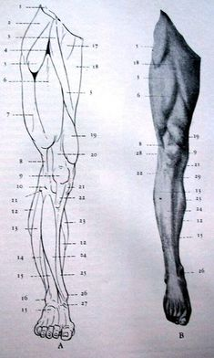 Trying to improve your art by studying anatomy? Having trouble finding good references? Human Anatomy For Artists, Human Anatomy Drawing, Anatomy Study, Anatomy Reference, Art Reference Poses, Human Body Drawing, Arte Com Grey's Anatomy, Anatomy Sketches, Drawing Studies