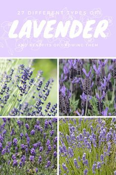 Different Types of Lavender and Benefits of Growing It 2019 27 different types of Lavender and the benefits of growing them. The post 27 Different Types of Lavender and Benefits of Growing It 2019 appeared first on Flowers Decor. Types Of Lavender Plants, Lavender Varieties, Types Of Herbs, Lavender Flowers, Types Of Plants, Flowers Garden, Growing Lavender, Growing Herbs, Growing Flowers