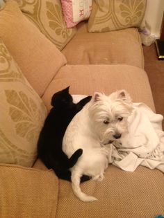 Sleeping With The Enemy Westie Cat