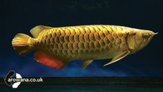 Arowana.co.uk | Gallery