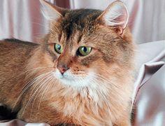 Te contamos todo sobre la raza de gato somalí