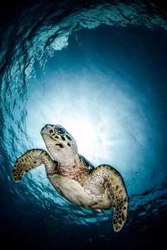 ♂ Underwater live - Turtle in the blue sea. Visit for more similar images of beautiful nature with wildness. Beautiful Creatures, Animals Beautiful, Cute Animals, Cute Turtles, Sea Turtles, Ocean Turtle, Baby Turtles, Ninja Turtles, Turtle Love
