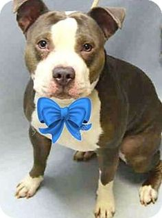 New York, NY - Pit Bull Terrier Mix. Meet Bubba, a dog for adoption. http://www.adoptapet.com/pet/17354797-new-york-new-york-pit-bull-terrier-mix